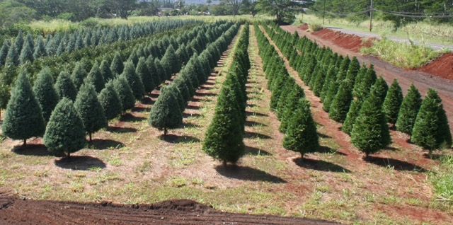 Christmas Tree Farm In Wahiawa